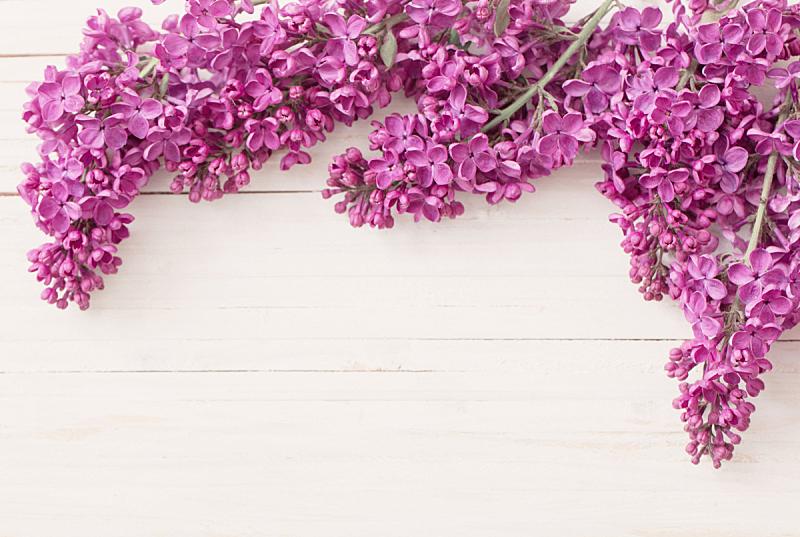 丁香花,木制,背景,俄亥俄河,紫色,花序,美,芳香的,水平画幅,无人