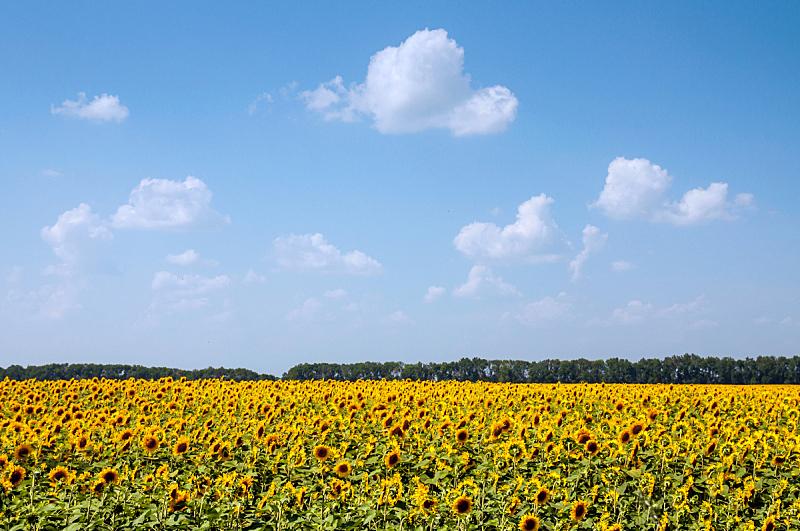 天空,蓝色,田地,向日葵,自然,水平画幅,无人,夏天,户外,植物