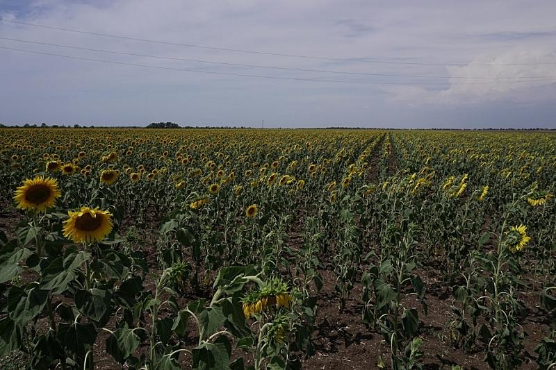 农场,向日葵,农作物,田地,绿色,农业,食品,有机农庄,草,植物