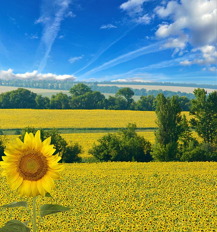田地,地形,向日葵,自然美,垂直画幅,天空,云,无人,早晨,夏天