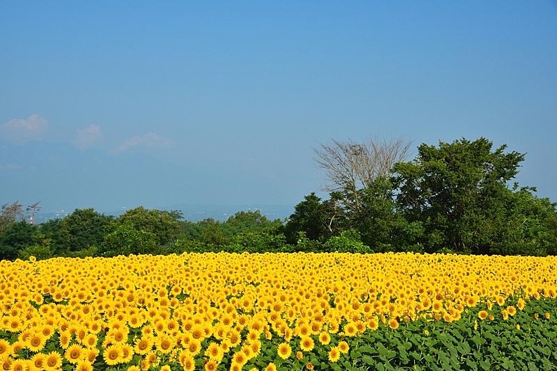 向日葵,山梨县,著名自然景观,天空,水平画幅,枝繁叶茂,无人,夏天,户外,植物