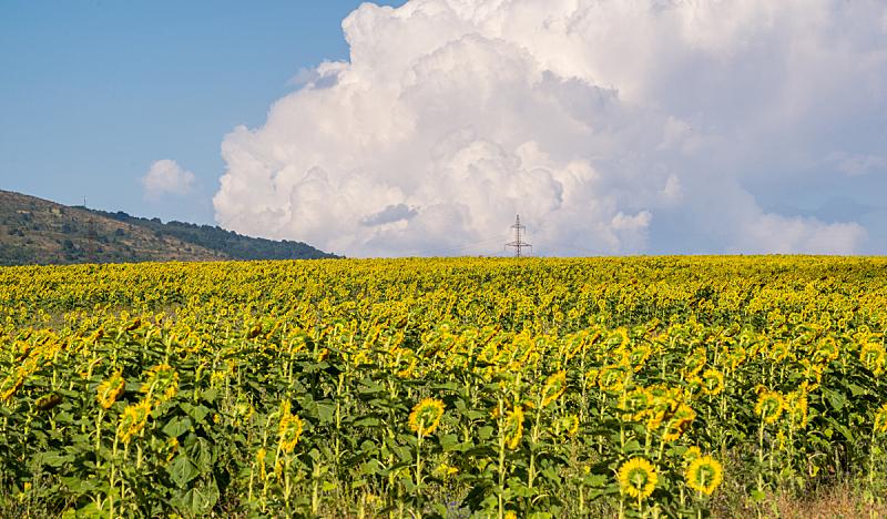 田地,向日葵,天空,美,褐色,水平画幅,无人,巨大的,夏天,户外
