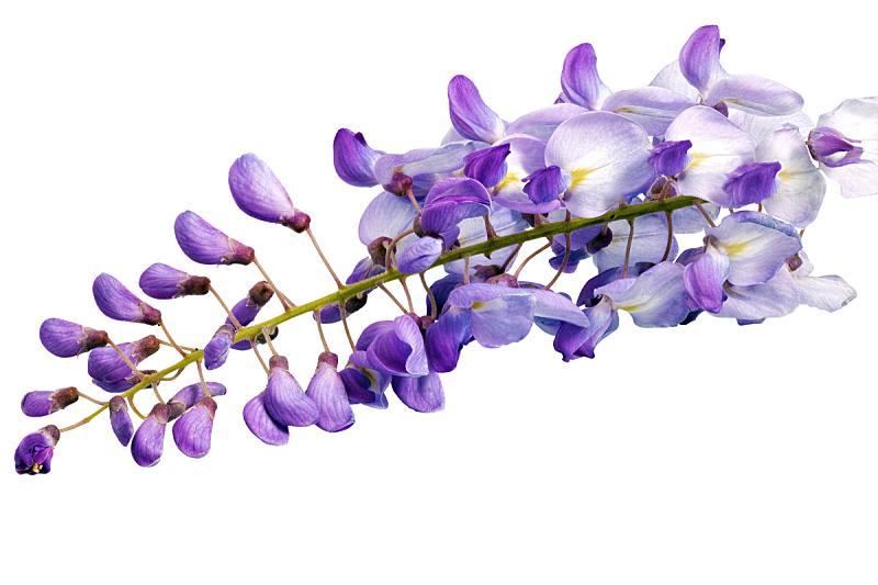 紫藤,自然美,分离着色,白色背景,水平画幅,无人,特写,白色,植物,枝