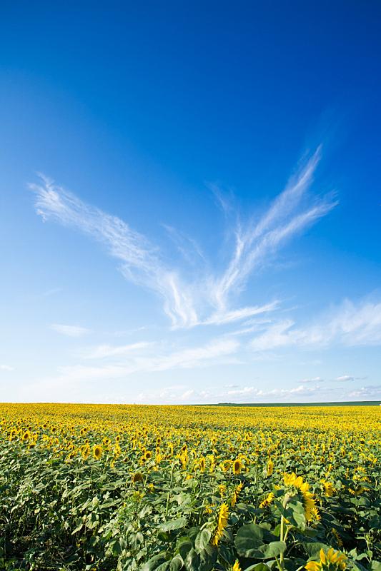 田地,向日葵,自然,垂直画幅,天空,非都市风光,无人,蓝色,户外,特写