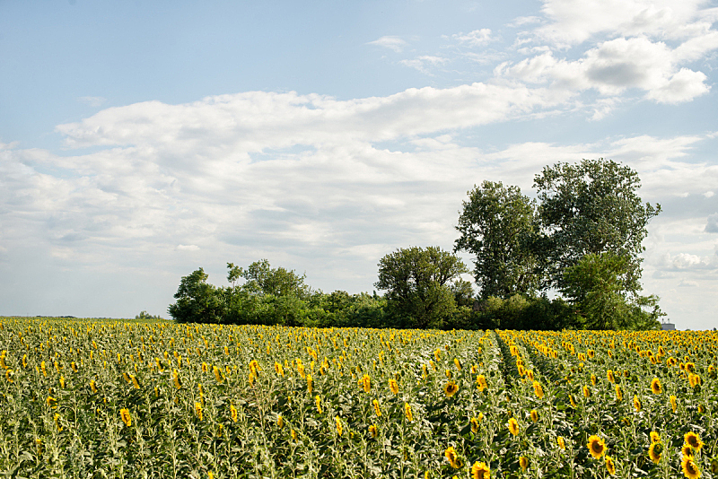 田地,向日葵,天空,美,水平画幅,无人,夏天,户外,农作物,植物