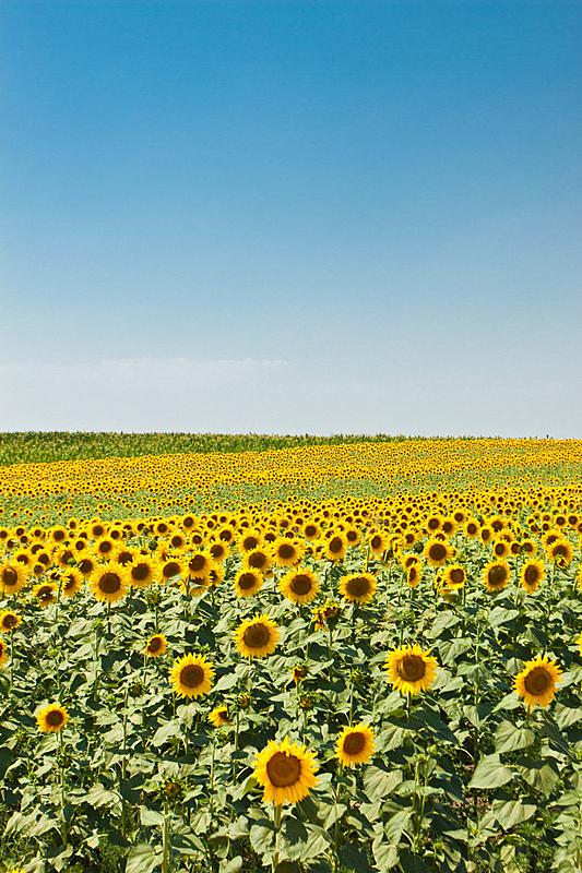 田地,向日葵,垂直画幅,天空,草地,绿色,无人,色彩鲜艳,蓝色,夏天