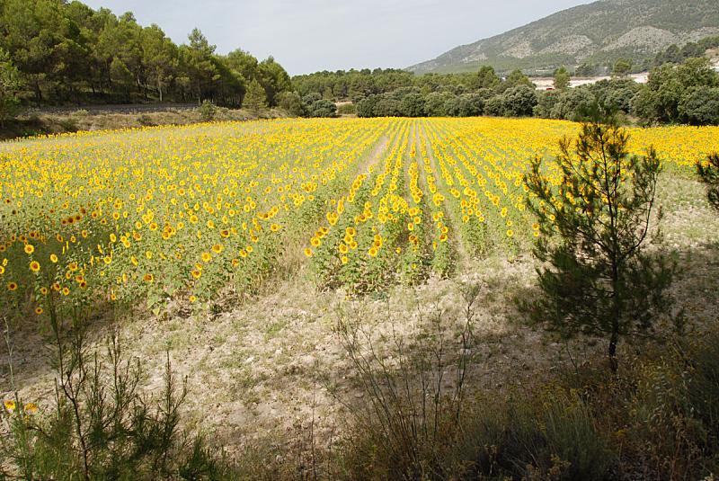 向日葵,水平画幅,绿色,无人,趋光性,夏天,太阳,common sunflower,向日葵籽,维生素a