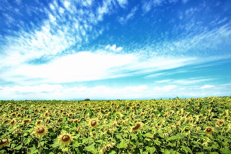 地形,意大利,向日葵,威尼托大区,花纹,天空,美,水平画幅,山,无人