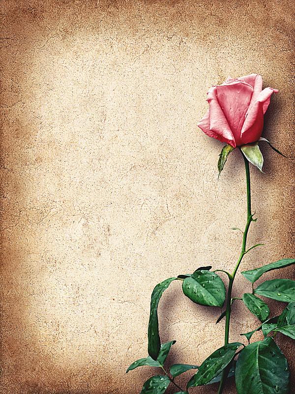 贺卡,玫瑰,粉色,垂直画幅,留白,边框,无人,纸板,祝贺,复古