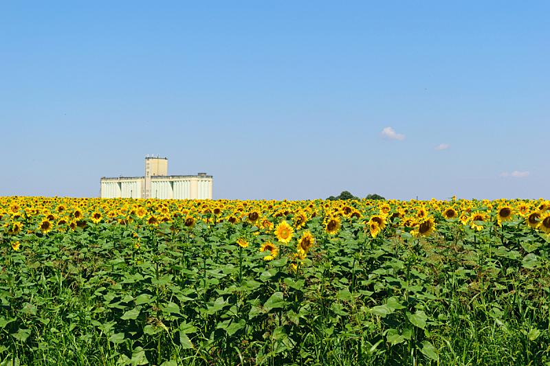 筒仓,向日葵,器材箱,田地,农业,谷类,建筑外部,背景,巨大的,小麦