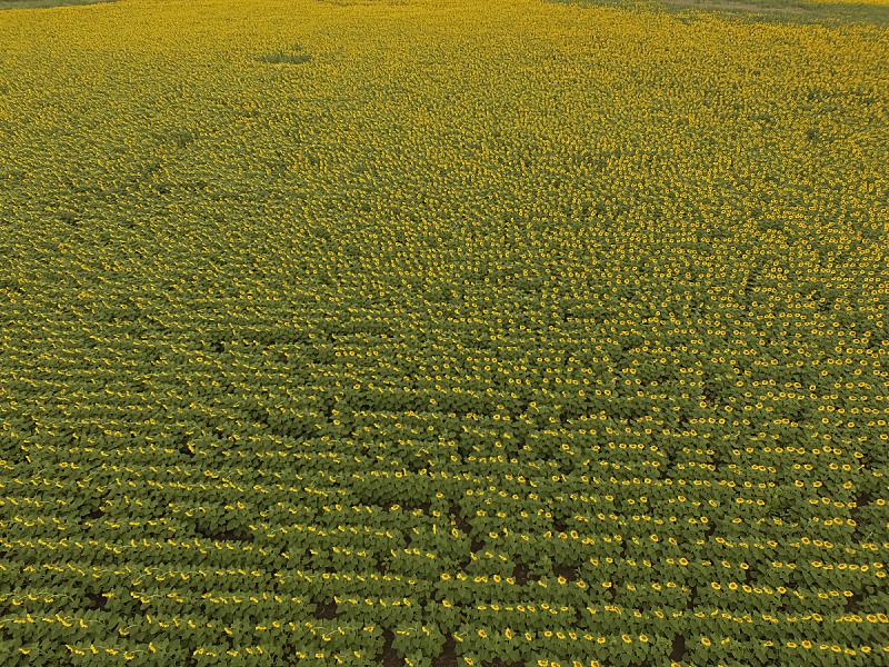 田地,农业,葵花油,商务,视点,食品,农场,向日葵,阿根廷,植物