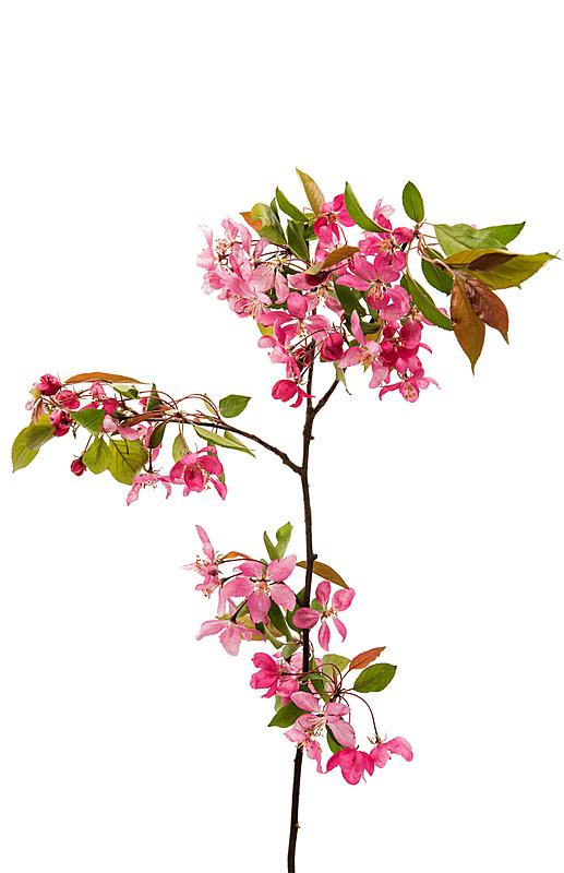 平衡折角灯,苹果,粉色,自然,垂直画幅,留白,海棠,新的,无人,乌克兰