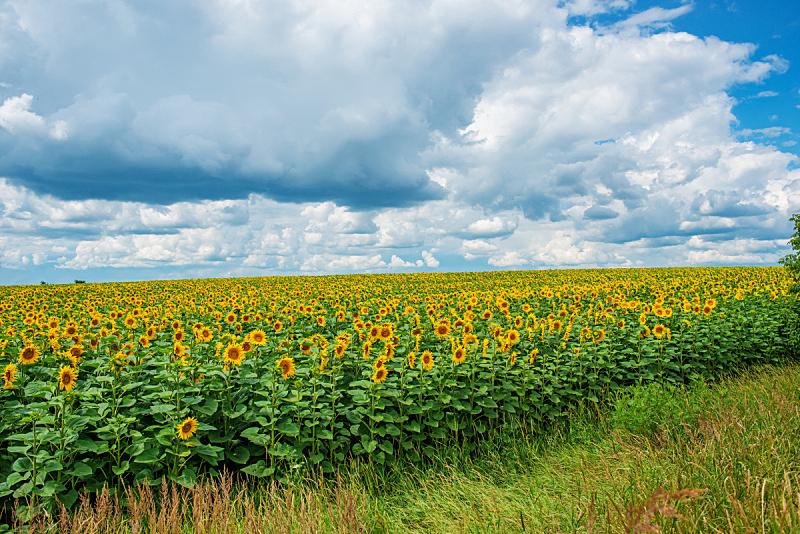 天空,曙暮光,云景,种植园,向日葵,光,修改系列,毛绒绒,自然美,日落