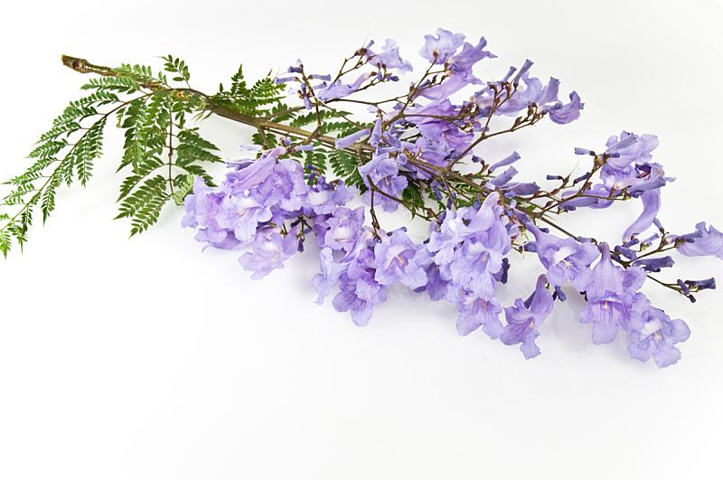 紫薇科树,自然,水平画幅,无人,蓝色,仅一朵花,自然美,春天,植物,紫色
