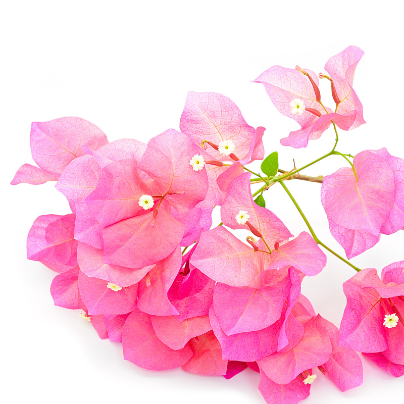 三角梅,纸花,自然,绿色,无人,方形画幅,花束,红色,植物,热带气候