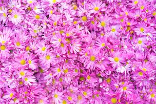 菊花,秋天,粉色,背景,壁纸,接力赛,特写,选择对焦,美,芳香的