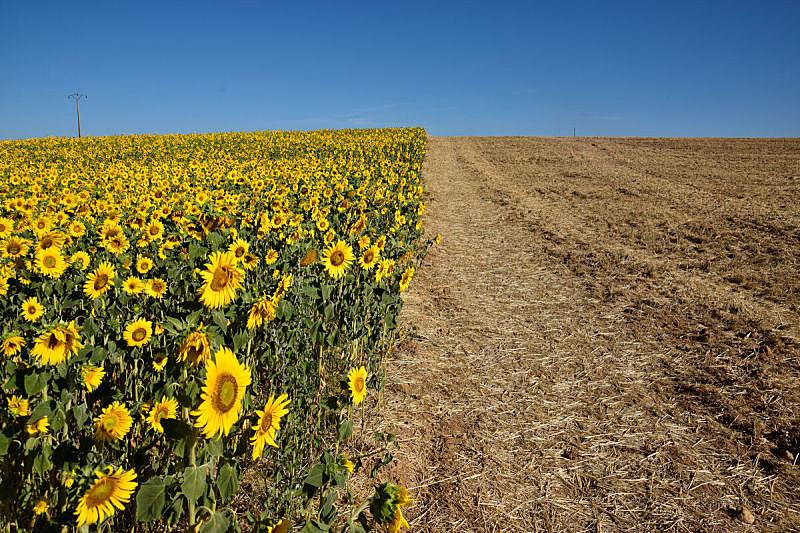夏天,向日葵,田地,自然,天空,水平画幅,地形,蓝色,户外,普罗旺斯