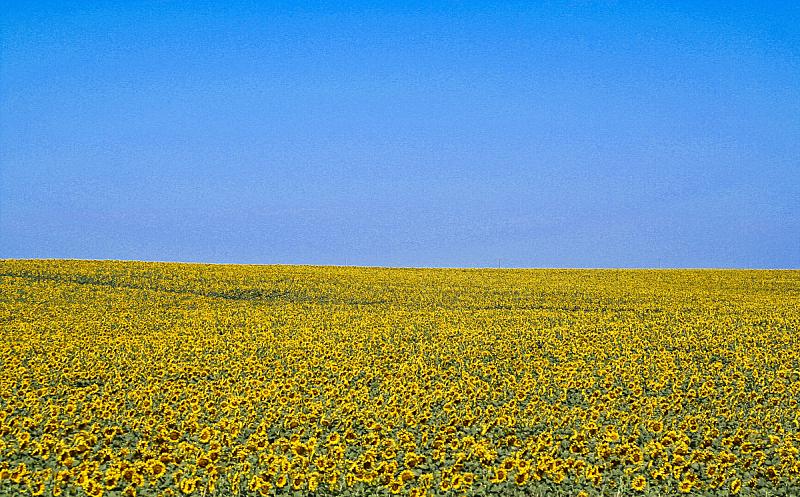 向日葵,文件管理,田地,美国,水平画幅,无人,蓝色,黄色,户外,摄影