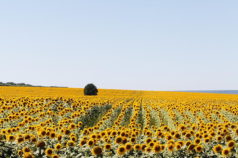 向日葵,夏天,田地,水平画幅,无人,户外,太阳,俄罗斯,植物,黄色