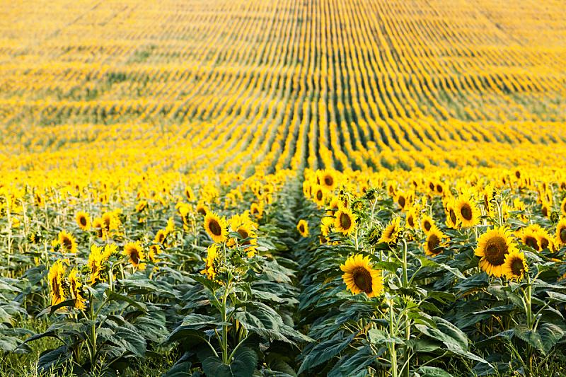 向日葵,田地,永远,水平画幅,地形,无人,夏天,户外,明亮,植物