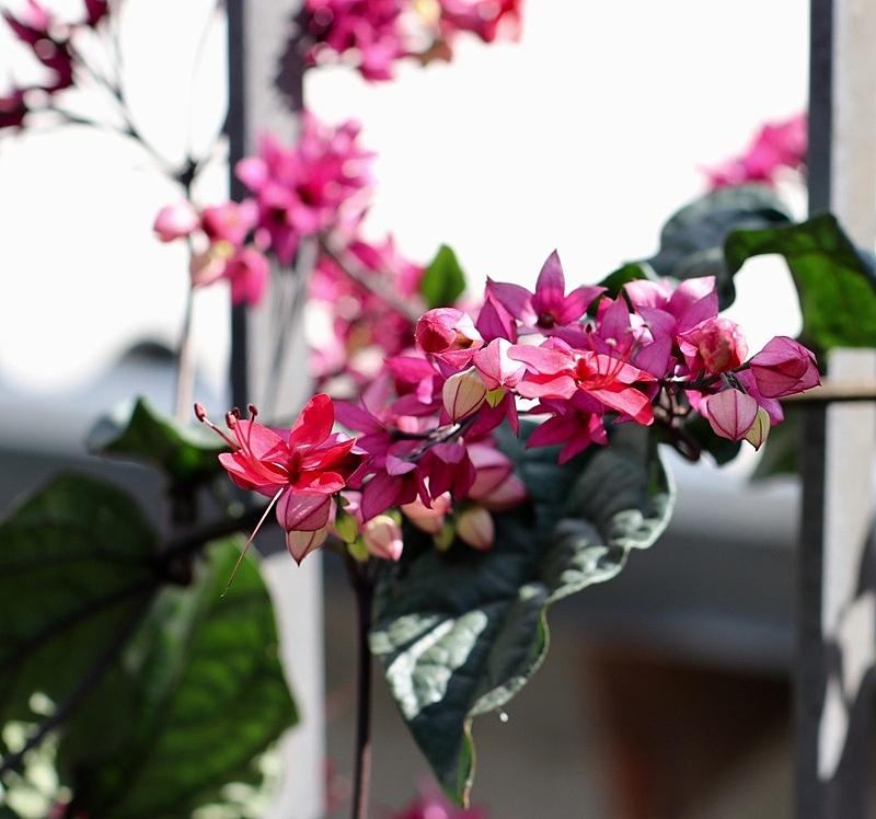 粉色,小的,无人,自然,巴西,图像,水平画幅,园艺,特写,花