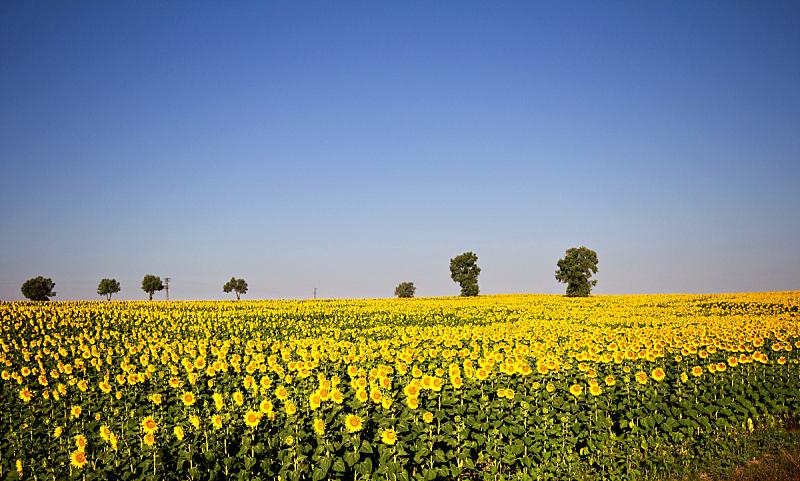 田地,向日葵,自然,天空,水平画幅,绿色,无人,蓝色,夏天,户外