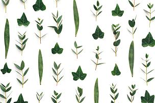 叶子,绿色,白色背景,水平画幅,无人,夏天,四方连续纹样,特写,常春藤,白色