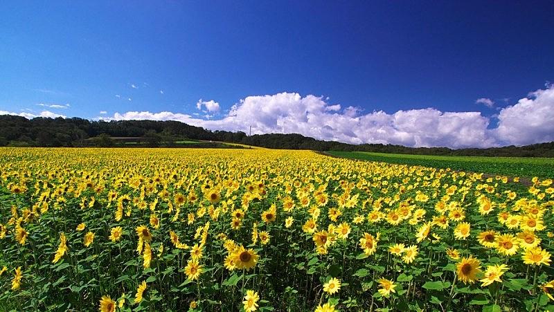 向日葵,田地,农业,清新,春天,农场,植物,夏天,户外,天空