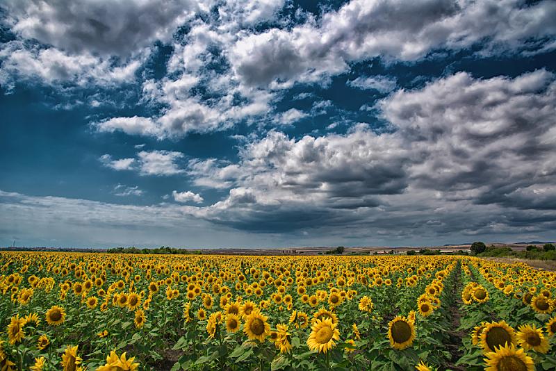 夏天,田地,向日葵,保加利亚,天空,美,风,暴风雨,水平画幅,无人
