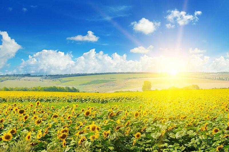 田地,向日葵,天空,美,水平画幅,云,夏天,户外,云景,特写