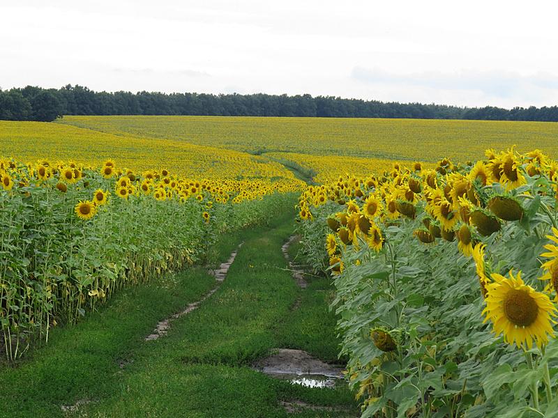 向日葵,路,自然,圆形,水平画幅,无人,有机食品,夏天,特写,植物