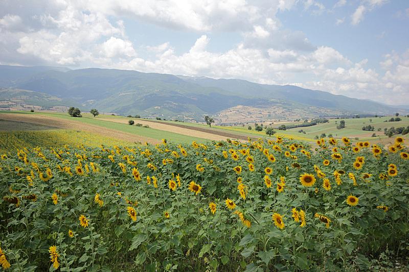 向日葵,夏天,仅一朵花,明亮,彩色图片,植物学,大特写,花头