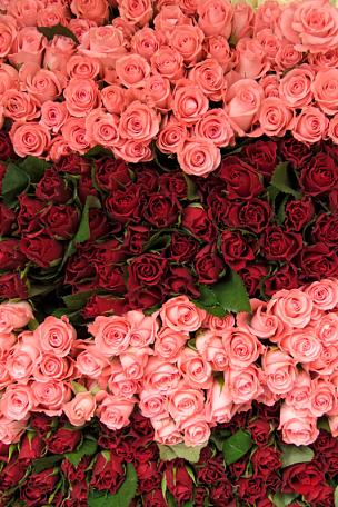 玫瑰,特拉华,华丽的,纹理效果,法国,图表,自然美,春天,植物,背景