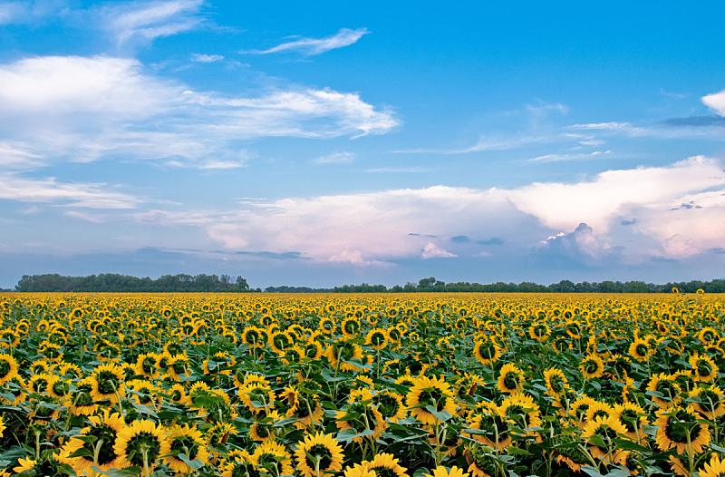 田地,向日葵,天空,水平画幅,无人,夏天,户外,云景,彩色图片
