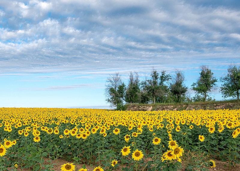 地形,向日葵,油菜花,天空,水平画幅,无人,夏天,户外,草,农作物