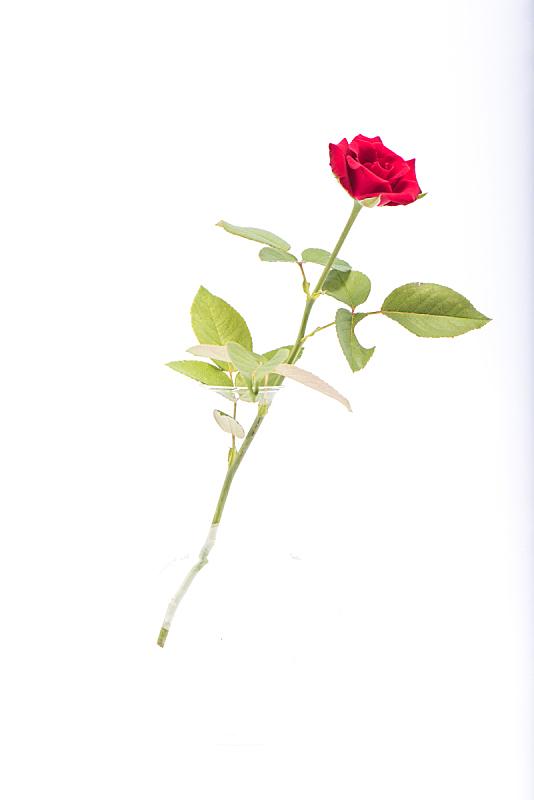 玫瑰,红色,垂直画幅,美,无人,夏天,特写,泰国,白色,彩色图片