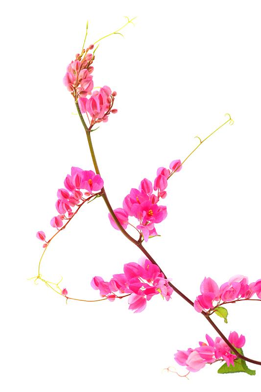 粉色,仅一朵花,有蔓植物,攀缘植物,白色背景,珊瑚,自然,垂直画幅,芳香的,无人