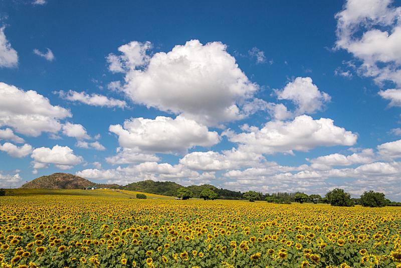天空,田地,地形,蓝色,自然美,风景,向日葵,水平画幅,无人,夏天