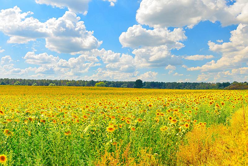 田地,向日葵,自然,水平画幅,地形,无人,夏天,户外,日光,田园风光