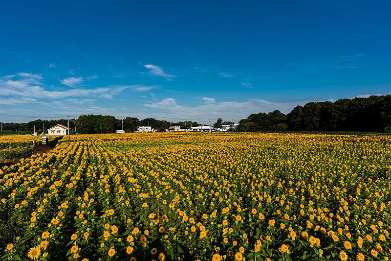 向日葵,天空,美,水平画幅,云,无人,夏天,户外,草,田地