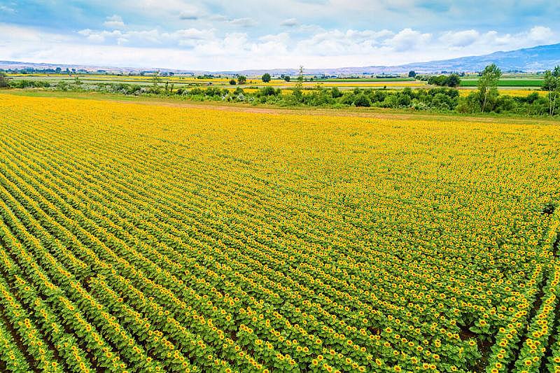 向日葵,田地,夏天,自然美,生物燃料,全球变暖,枝繁叶茂,明亮,希腊,农作物