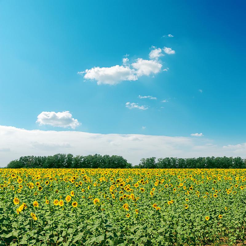 天空,田地,云,向日葵,无人,夏天,户外,草,农作物,植物
