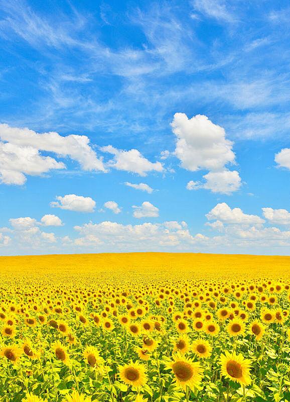 田地,向日葵,垂直画幅,非都市风光,地形,曝光过度,无人,色彩鲜艳,夏天,户外
