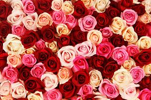 玫瑰,地毯,情人节,粉色,大量物体,多色的,浪漫,多样,自然,水平画幅