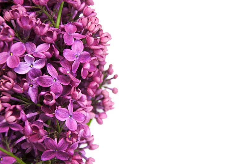 丁香花,国境线,水平画幅,无人,五月,夏天,开花时间间隔,花束,花蕾,灌木