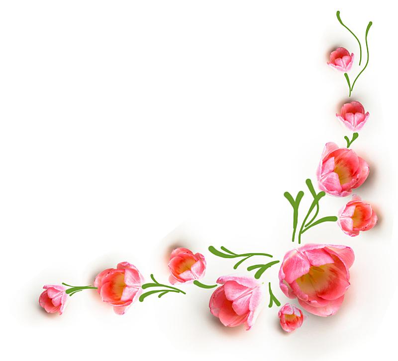 郁金香,白色背景,春天,粉色,自然美,美,边框,水平画幅,无人,组物体
