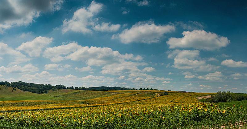 向日葵,水平画幅,无人,夏天,户外,草,农作物,植物,著名景点