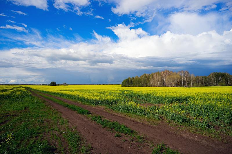 黄色,田地,油菜花,路,在之间,自然,草地,水平画幅,无人,蓝色