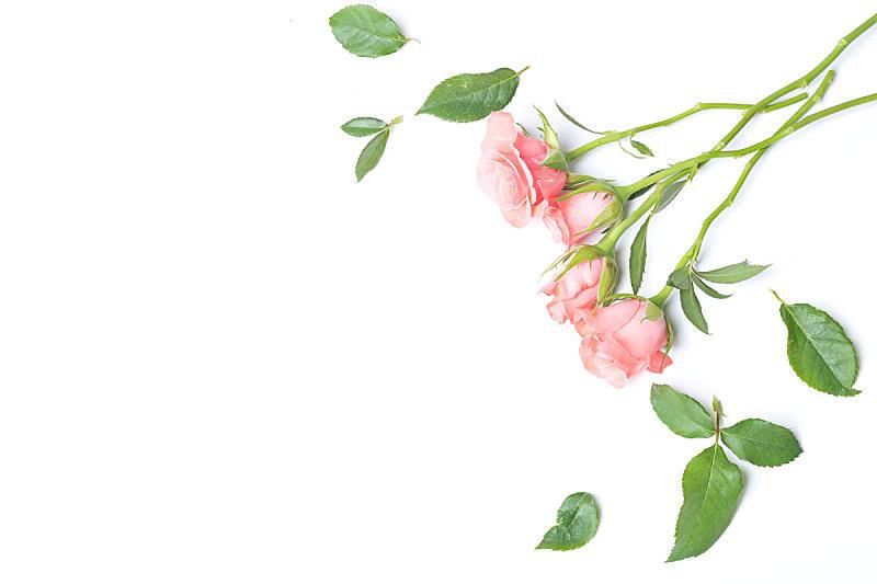 白色,玫瑰,软帽,美,留白,复活节,水平画幅,枝繁叶茂,无人,生日