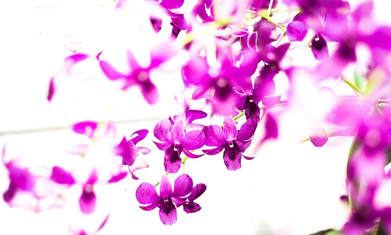 兰花,紫色,白色背景,分离着色,自然,水平画幅,蝴蝶兰,特写,花束,红色